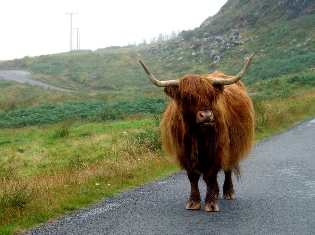 Highland Cattle, a vaca peluda da Escócia